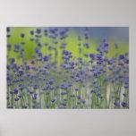 Lavender Field Poster