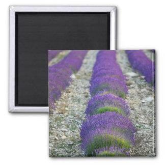 Lavender field, Provence, France Magnet