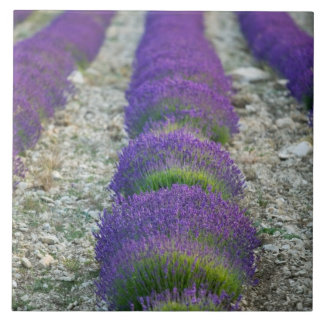 Lavender field, Provence, France Tile