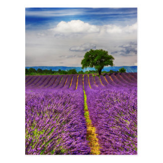 Lavender Field scenic, France Postcard