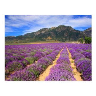 Lavender Fields Forever Postcard
