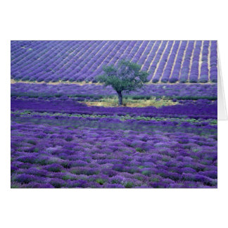 Lavender fields, Vence, Provence, France Greeting Card