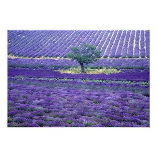 Lavender fields, Vence, Provence, France Photo Print