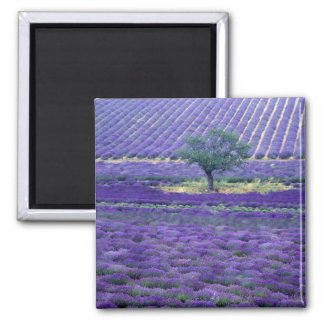 Lavender fields, Vence, Provence, France Square Magnet