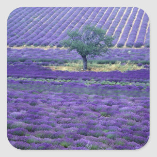 Lavender fields, Vence, Provence, France Square Stickers
