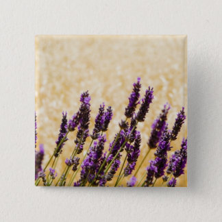 Lavender flowers in a field, Siena Province, 15 Cm Square Badge