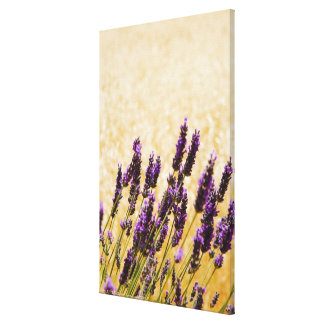 Lavender flowers in a field, Siena Province, Canvas Print