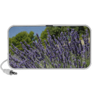 Lavender flowers in field at summer, Provence Speaker
