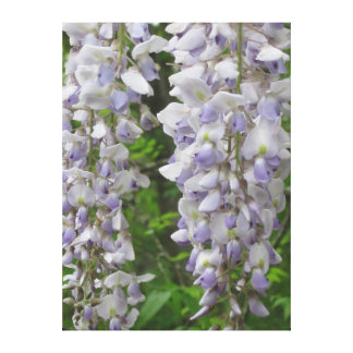 Lavender flowers of Wisteria Canvas Print