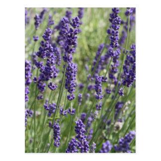Lavender Flowers Post Card