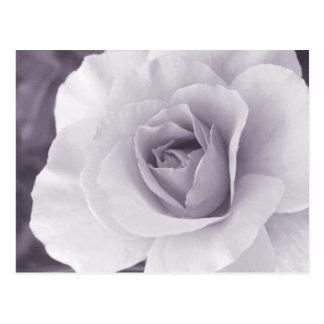Lavender-Gray Rose Postcard