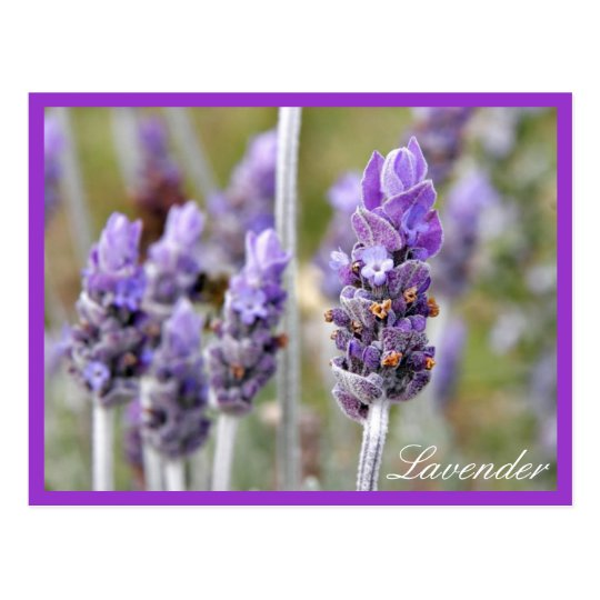 Lavender in bloom postcard