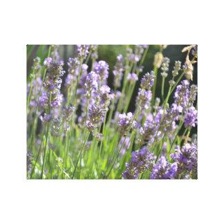 Lavender in English garden Canvas Prints