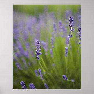 Lavender plants 2 poster