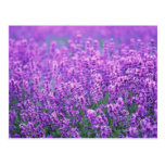 Lavender Post Cards