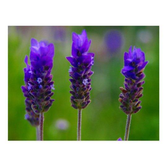 lavender postcard