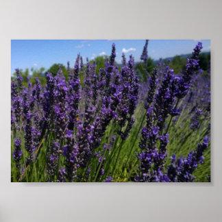 Lavender Poster