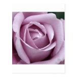 Lavender Rose Flower Post Cards
