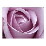Lavender Rose Flower Postcard