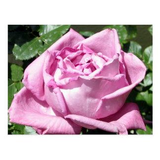 Lavender Rose Postcard