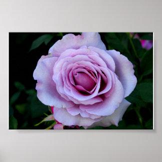 Lavender Rose Poster