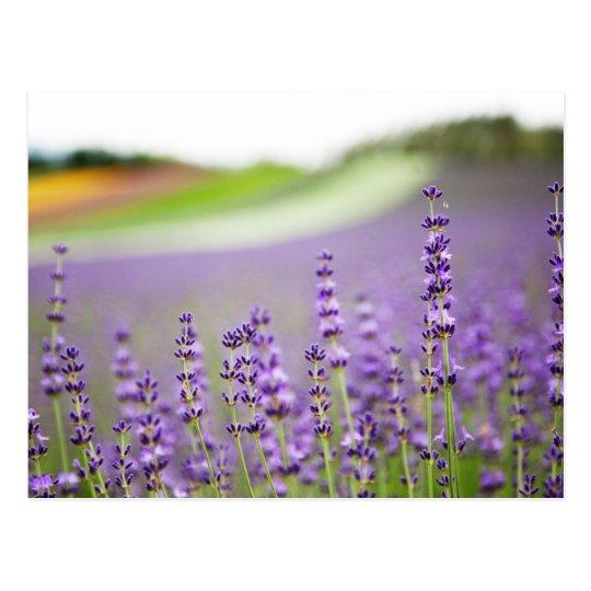 Lavender VI Postcard