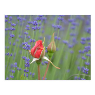Lavender with Roses Postcard