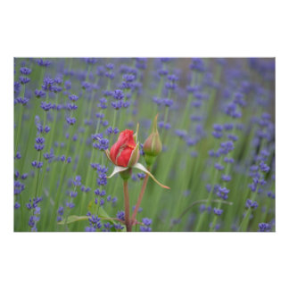 Lavender with Roses Poster