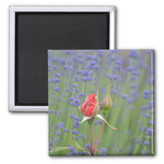 Lavender with Roses Square Magnet