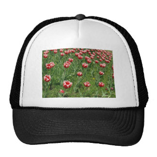 Lawn with red tulips closeup cap