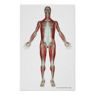 Layout of all the muscles in the human body poster
