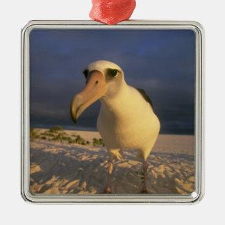 Laysan Albatross, Diomedea immutabilis), Silver-Colored Square Decoration