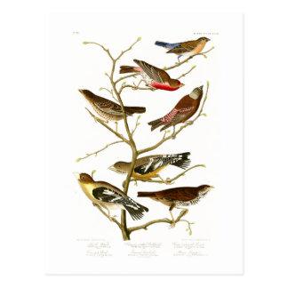 Lazuli Finch John James Audubon Birds of America Postcard