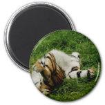 Lazy Day Tiger Magnet