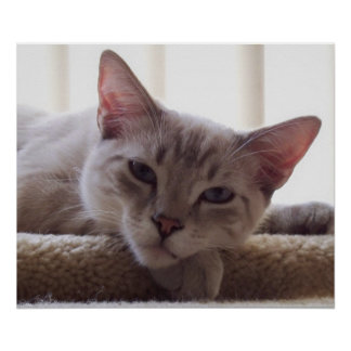 Lazy Kitten, Bengal Siamese Cat Photo 24x20 Poster