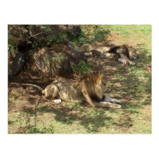 Lazy Lions Postcard