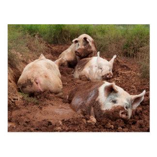 Lazy Pigs in Mud Postcard