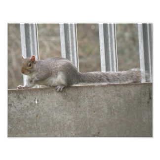 Lazy Squirrel Sitting on the Fence Photo Print