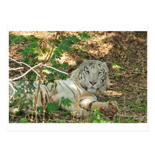 Lazy White Tiger Postcard