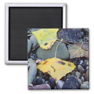 Leaf of Fremont cottonwood on flood plain 2 Square Magnet