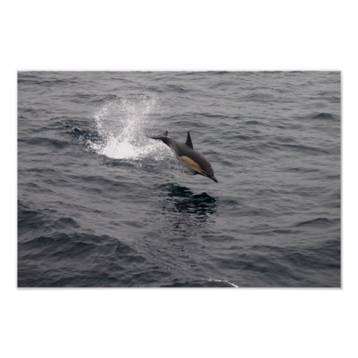 Leaping Wild Dolphin Posters