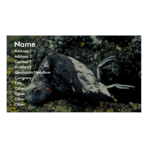 Least Auklet killed by a rat Business Card