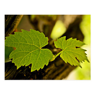 Leaves From The Grape Growing Out Of A Tree Postcard