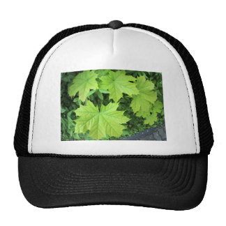Leaves of a young maple tree on the background of cap