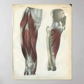 Leg & Hip Muscles Anatomy Print
