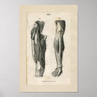 Leg Muscles Vintage Anatomy Print