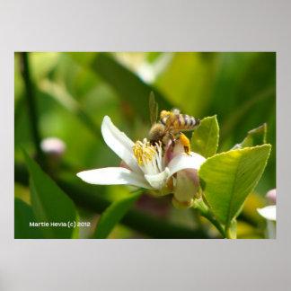 Lemon Blossom Bee (3) Poster