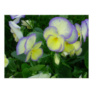 Lemon Yellow Pansies Poster