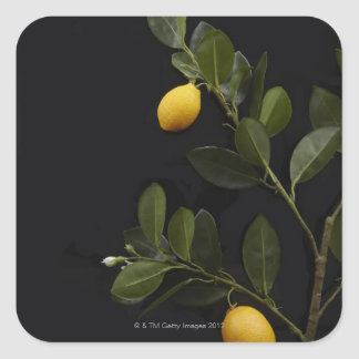 Lemons still on their Branch Square Sticker
