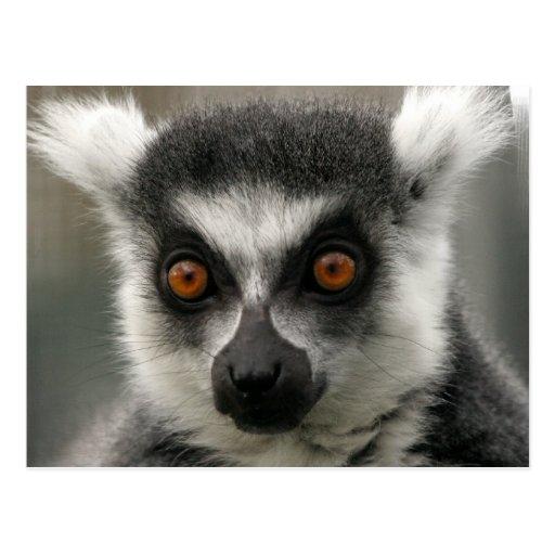 Lemur Face  Postcards